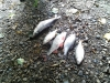 hilly_fields_dead_fish_2013-07-04-12-11-03